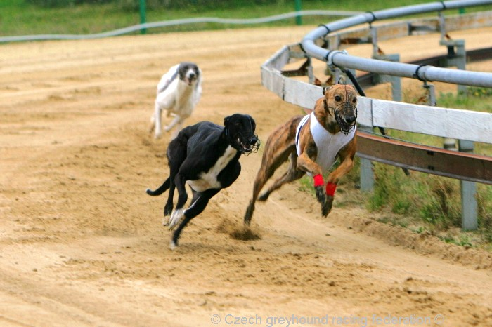 Greyhound_Schooling_Academy_Czech_Greyhound_Racing_Federation_NQ1M8741.JPG