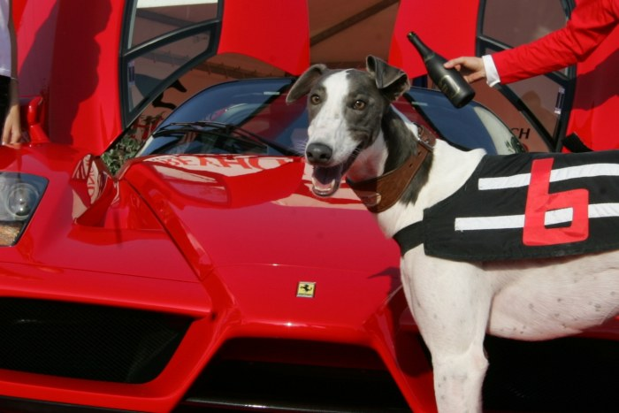 racing_greyhound_White_Elbony_Ferrari_Enzo_NQ1M8402.JPG
