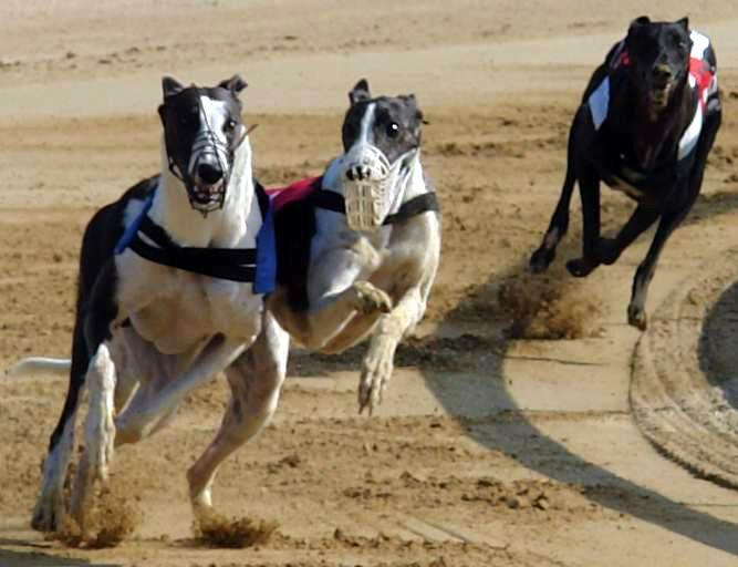 Greyhound_Doroty_Co_Co_se_chysta_na_utok_Ceska_greyhound_dostihova_federace.jpg