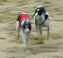 Elita_co_co-diskvalifikace_1_Ceska_greyhound_dostihova_federace.jpg