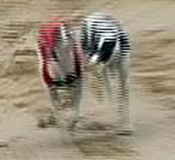 Elita_co_co-diskvalifikace_4_Ceska_greyhound_dostihova_federace.jpg
