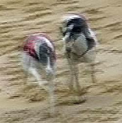 Elita_co_co-diskvalifikace_5_Ceska_greyhound_dostihova_federace.jpg