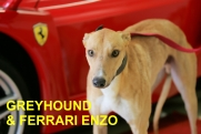 greyhound_ferrari_enzo_czech_greyhound_racing_federation_NQ1M7778-r.jpg