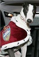 Greyhound_Cayenn_Velmistr-limo_Czech_Greyhound_Racing_Federation_Nq1m1031-v-upr.jpg