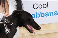 Puppy_Big_Daddy_Cool_Czech_Greyhound_Racing_Federation_DSC07342.JPG