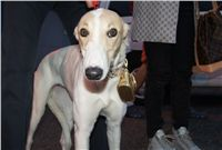 Puppy_Big_Daddy_Cool_Czech_Greyhound_Racing_Federation_DSC07637.jpg