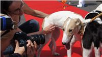 Puppy_Big_Daddy_Cool_Czech_Greyhound_Racing_Federation_DSC07951.JPG
