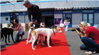 Puppy_Big_Daddy_Cool_Czech_Greyhound_Racing_Federation_DSC07956.JPG
