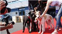 Puppy_Big_Daddy_Cool_Czech_Greyhound_Racing_Federation_DSC07957.JPG