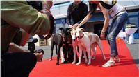 Puppy_Big_Daddy_Cool_Czech_Greyhound_Racing_Federation_DSC07960.JPG