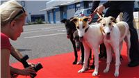 Puppy_Big_Daddy_Cool_Czech_Greyhound_Racing_Federation_DSC07962.JPG