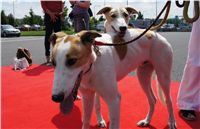 Puppy_Big_Daddy_Cool_Czech_Greyhound_Racing_Federation_DSC07996.JPG