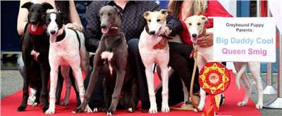 Puppy_Big_Daddy_Cool_Czech_Greyhound_Racing_Federation_IMG_2024-v[1].jpg