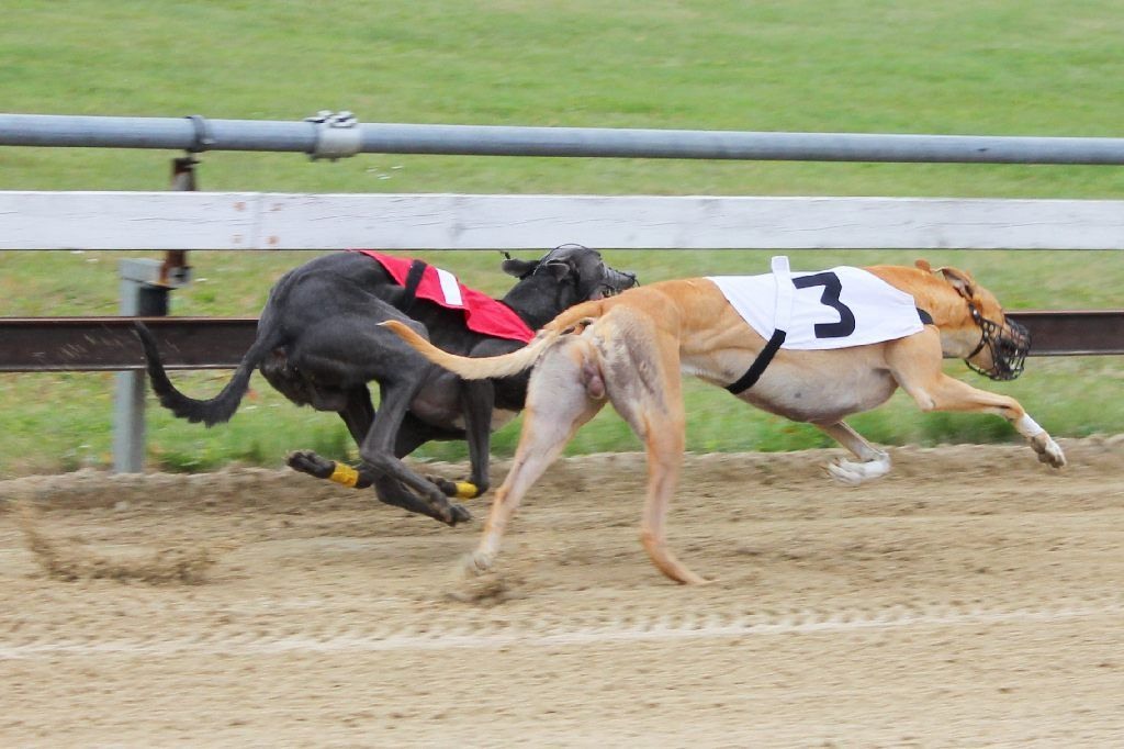 greyhound racing essay Greyhound bus company essay racing greyhounds essay racing greyhound greyhound racing is one of the popular action sports, the sport of racing greyhounds.
