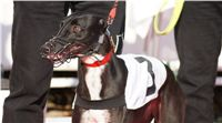 029_Zlaty_Chrt_Dior_Czech_Greyhound_Racing_Federation_DSC03374.jpg