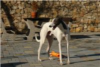 White_Zlaty_chrt_Velmistr_Czech_Greyhound_Racing_Federation_DSC01677.jpg