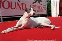 White_Zlaty_chrt_Velmistr_Czech_Greyhound_Racing_Federation_DSC02697.JPG