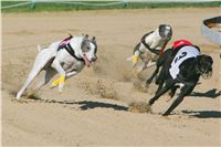 White_Zlaty_chrt_Velmistr_Czech_Greyhound_Racing_Federation_NQ1M0117.jpg