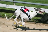 White_Zlaty_chrt_Velmistr_Czech_Greyhound_Racing_Federation_NQ1M0123.jpg