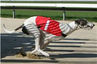 White_Zlaty_chrt_Velmistr_Czech_Greyhound_Racing_Federation_NQ1M0199.jpg