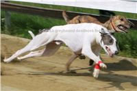 White_Zlaty_chrt_Velmistr_Czech_Greyhound_Racing_Federation_Swift-beh.jpg