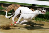 White_Zlaty_chrt_Velmistr_Czech_Greyhound_Racing_Federation_Swift.jpg