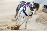 White_Zlaty_chrt_Velmistr_Czech_Greyhound_Racing_Federation_autor_M_Kozak_1.jpg