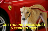 lemon_moet_ferrari_enzo_czech_greyhound_racing_federation_NQ1M7778-R.jpg