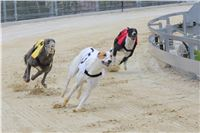 Greyhound_Racing_Greyhound_Park_Motol_Prague_CGDF_6570.JPG