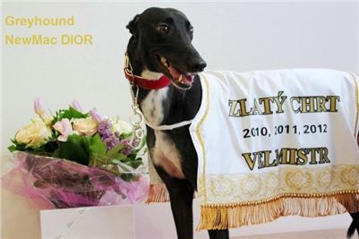 Greyhound_Grandmaster_Dior_Czech_Greyhound_Racing_Federation_Prague_Motol.jpg