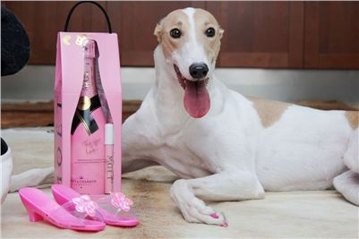 Greyhound_Birthday_Queen_Vuitton_pink_maskara_champagne_Czech_Greyhound_Racing.JPG