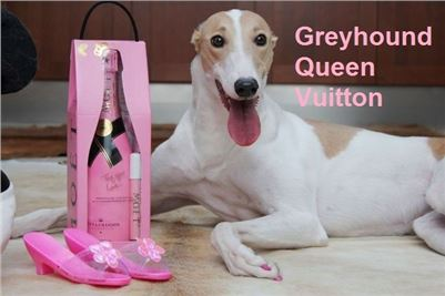 Chrt_dostihy_Greyhound_Queen_Vuitton_CGDF_ruzove_drapky_Prague_Motol.jpg
